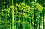 Wizard + Genius Wallpaper Giant Art 00670 Bamboo In Spring By Colemans